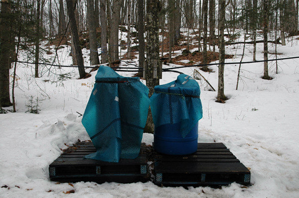 These tarp-covered barrels collect the tree sap pouring through the pipelines. The pipeline technique seems to be a more efficient route to collection, assuming you have some assistance from gravity and the wildlife hasn't nibbled through the rubber or something bigger like a moose, deer or bear hasn't simply torn right through them.